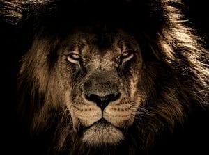 conte du mali - lion mature